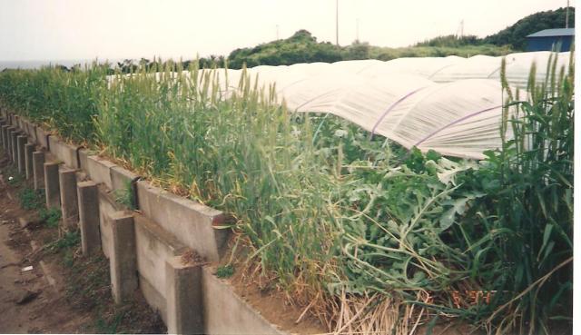 Dinnye ültetvény szélén védő gabonasávval